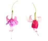 Blommor av en fuchsia av olika kvaliteter som isoleras på vitbaksida fotografering för bildbyråer