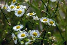 Blommor av en härlig roman kamomill arkivfoto