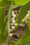 Blommor av en liljekonvalj Fotografering för Bildbyråer