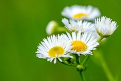 Blommor av en liten tusensköna på grön bakgrund Arkivbild