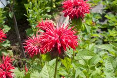 Blommor av en medicinalväxt Monarda Arkivfoto