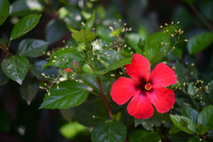 Blommor av en röd hibiskus & x28; kinesisk rose& x29; Royaltyfria Foton