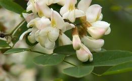 Blommor av en vit akacia Royaltyfria Bilder