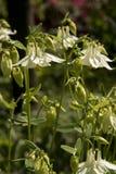 Blommor av en vit akleja Fotografering för Bildbyråer