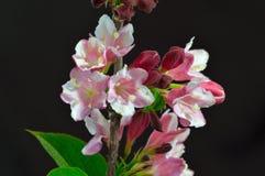 Blommor av en Weigelabuske Fotografering för Bildbyråer