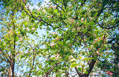 Blommor av ett blomstra Apple-träd Royaltyfri Bild