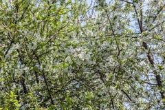 Blommor av ett blomstra Apple-träd Royaltyfri Fotografi