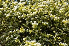 Blommor av ett europeiskt löst päron Royaltyfria Foton