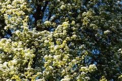 Blommor av ett europeiskt löst päron Royaltyfri Fotografi