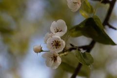 Blommor av ett europeiskt löst päron Royaltyfria Bilder