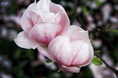 Blommor av ett magnoliaträd Arkivbild