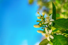 Blommor av ett orange träd på en filial mot himlen Royaltyfria Bilder