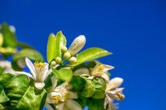 Blommor av ett orange träd på en filial mot himlen Royaltyfri Foto