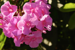 Blommor av floxen Arkivfoto