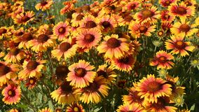 Blommor av gaillardia lager videofilmer