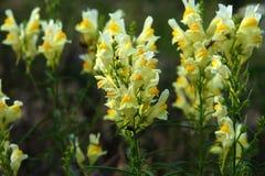 Blommor av gemensam toadflax Royaltyfri Fotografi