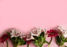 Blommor av gerberaen och alstroemeria lade ut i rad på en rosa bakgrund Tre röda och tre rosa blommor på en rosa bakgrund royaltyfri bild