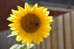 Blommor av gula solrosor, som solen Arkivfoton