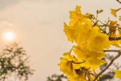blommor av guld- blomstra för träd (2) Royaltyfria Foton