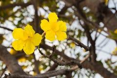 blommor av guld- blomstra för träd (8) Arkivbild