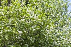 Blommor av hägget Arkivbild