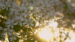 Blommor av hägget i strålarna av solljus lager videofilmer
