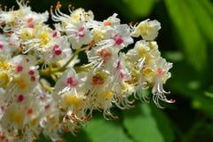 Blommor av hästkastanjen Fotografering för Bildbyråer