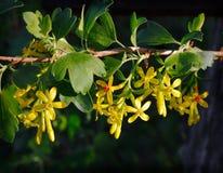 Blommor av hagtorn arkivfoto