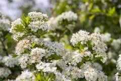 Blommor av hagtorn Arkivbilder