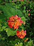 Blommor av Indien royaltyfri fotografi