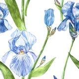 Blommor av irins Dragen botanisk illustration för vattenfärg hand av blommor seamless modell Arkivbilder
