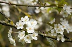 Blommor av japanska vita körsbärsröda träd Arkivfoto