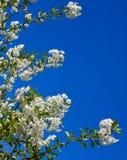 Blommor av körsbäret, äppleträd mot den blåa himlen Arkivbild