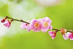 Blommor av körsbärsröda blomningar arkivfoton