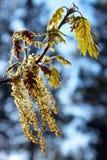Blommor av Kalifornien den svarta eken Royaltyfri Foto