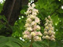 Blommor av kastanjen royaltyfri fotografi