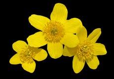 Blommor av kingcup 10 Fotografering för Bildbyråer