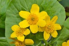 Blommor av kingcup 12 Arkivbilder