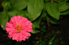 Blommor av krysantemumet Royaltyfri Foto