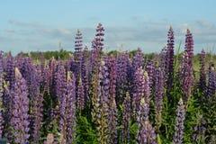 Blommor av lösa lupines Royaltyfri Fotografi