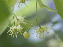 Blommor av lindträdet som är bekant som limefruktblomningen Royaltyfri Bild