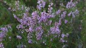 Blommor av ljung stock video