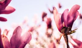 Blommor av magnolian i en trädgård arkivfoto
