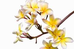 Blommor av magnolior Fotografering för Bildbyråer