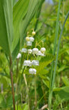 Blommor av Maj lilja 16 Arkivfoton
