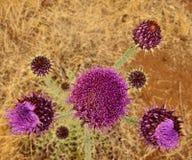 Blommor av onopordumcardueliumen som ses från över, Gran canaria Arkivfoton