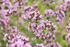 Blommor av oreganoOriganumvulgare Bakgrund Fotografering för Bildbyråer