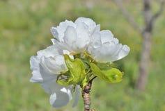 Blommor av päron 10 Arkivbild