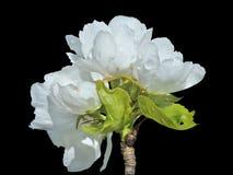 Blommor av päron 18 Arkivbild