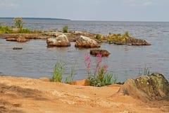 Blommor av Pil-ört Ivan te på stenig sandig kust royaltyfri bild